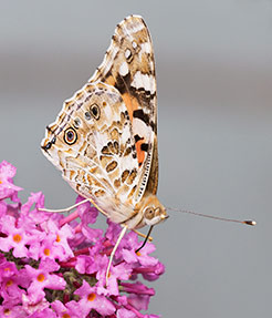 Painted Lady underwings display remarkably intricate patterning