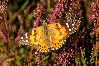 A migrant Painted Lady at rest on heather