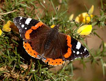 A Red Admiral basking on a gorse bush