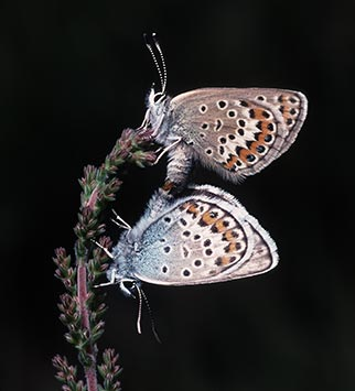 Silver-studded blues - a mating pair