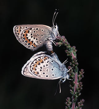 New Foreset wildlife - silver-studded blue butterflies