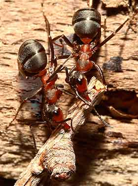 Southern wood ants: two workers toil together as they carry a twig back to the nest