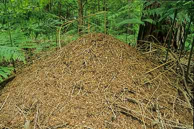 A southern wood ants' nest - a huge, neat conical mound