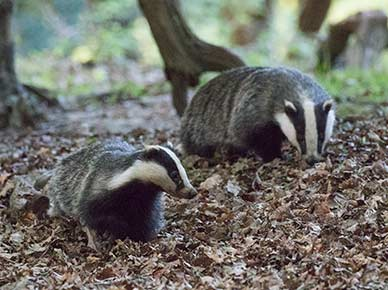 A badger and cub (in the foreground) exploring the landscape around their underground home