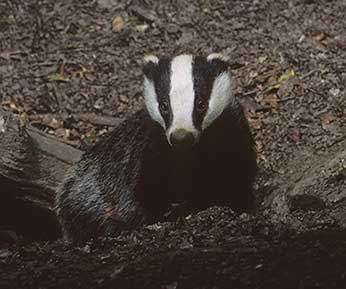 A badger emerges from its sett