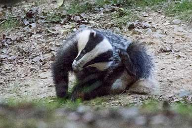 A badger grooming soon after emergence from the sett