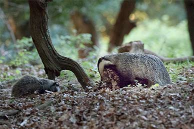 A badger drags bedding back towards the sett whilst nearby, a cub searches for foodstuffs amongst the fallen leaves