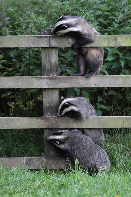 Badgers feeding on peanut butter placed on a fence