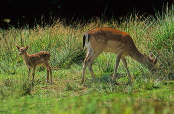 Fallow doe with a very small fawn