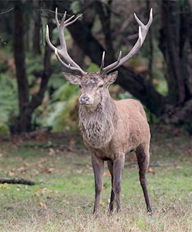 A magnificent red deer stag during the rut