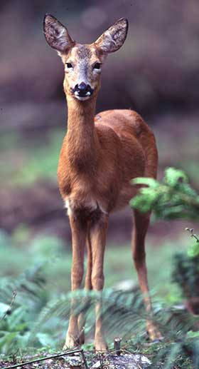 An ever inquisitive roe doe