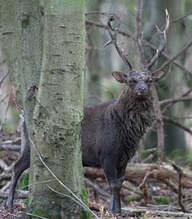 Sika stag during the rut