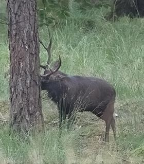 A sika stag signifying his presence by marking a Scots pine bole