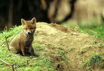 A fox cub patiently awaits the return of its parents