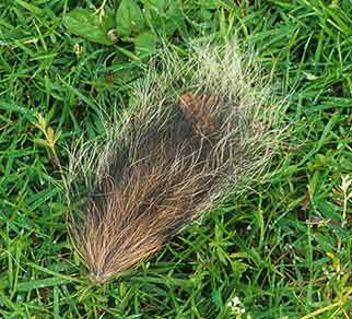 Fox prey remains - squirrel's tail