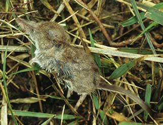 Fox prey remains - shrew
